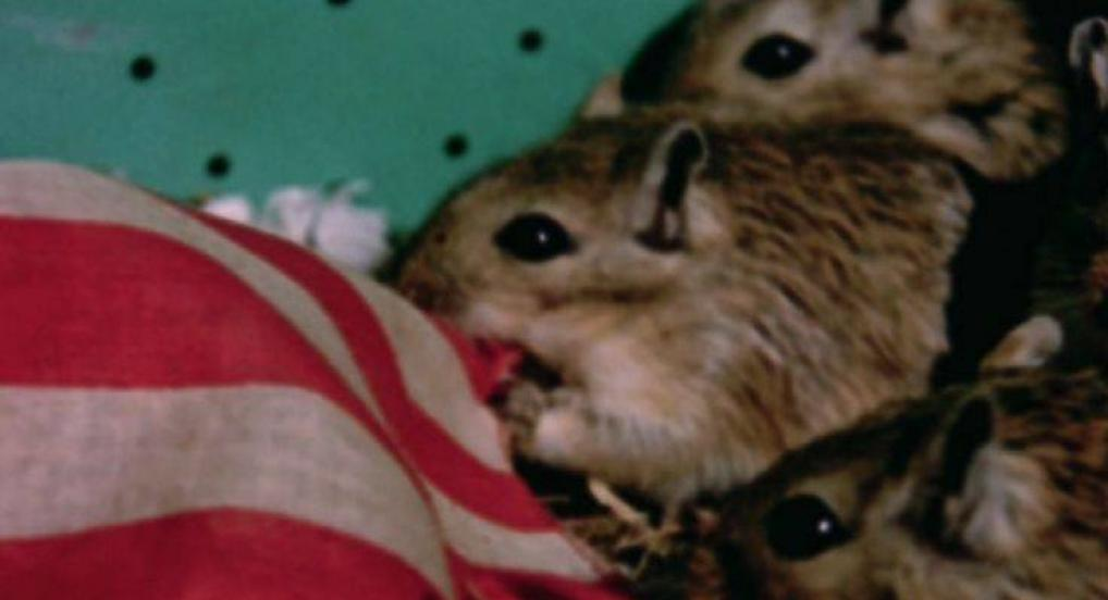 Rat Life and Diet in North America (Joyce Wieland, 1968)