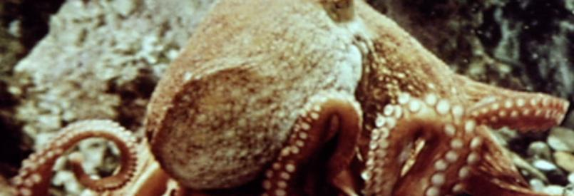 Les amours de la pieuvre (Jean Painlevé, 1967)