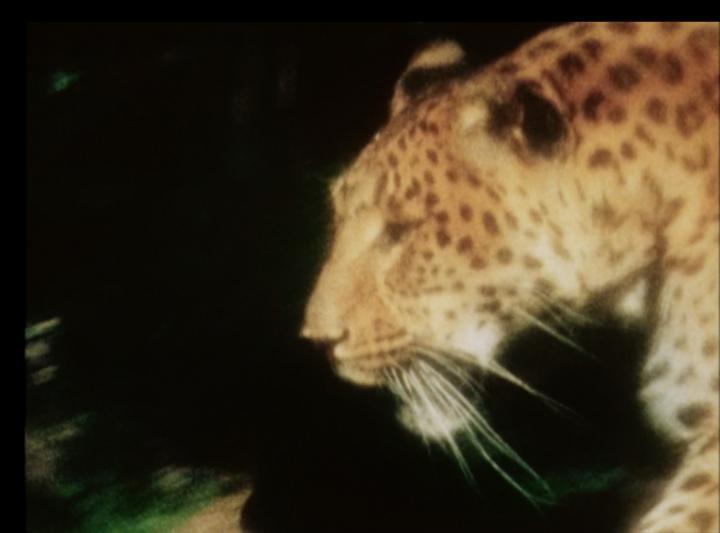 Leopard (Helga Fanderl, 2012)